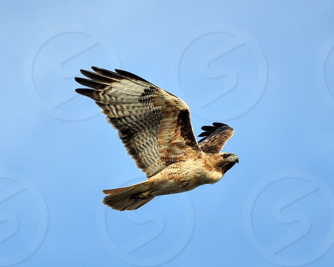 Red Tail Hawk - Moss Landing CA photo