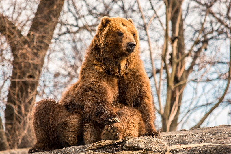 Bear fluffy chill grizzly sitting brown  photo