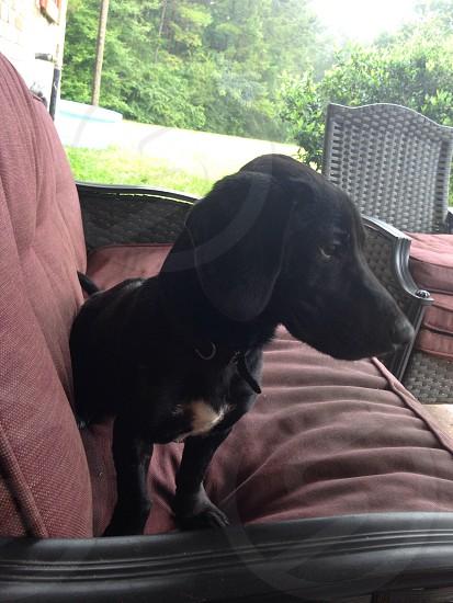 Jack Russell/ dachshund   photo