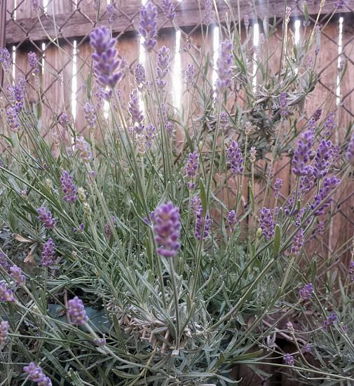 Lavender flowers photo