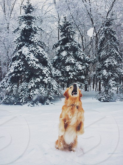 golden retriever playing on a snow covered field photo
