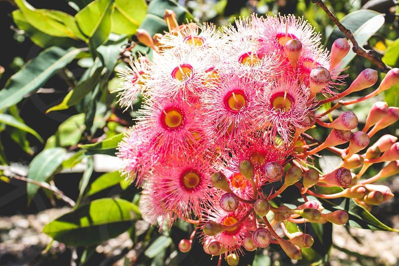 pink corymbia  photo