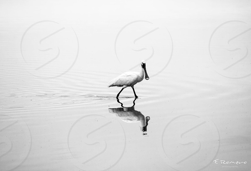 grayscale photography of spoonbill on body of water photo