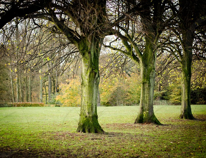 Three strong trees growing in a line in park. Greens texture light and shade photo