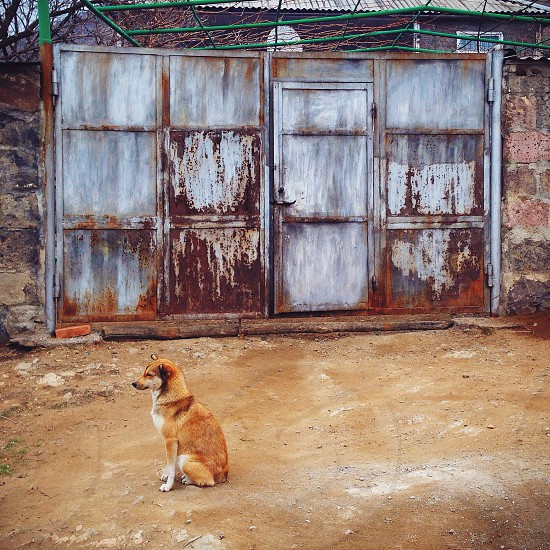 brown and white short haired medium dog sitting near white and rusty gate photo
