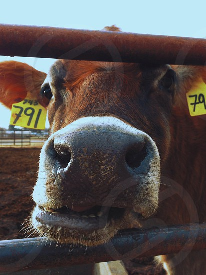 brown cow face poking through bars photo