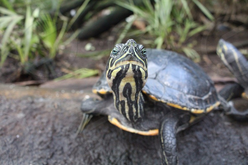 gray and yellow turtle photo