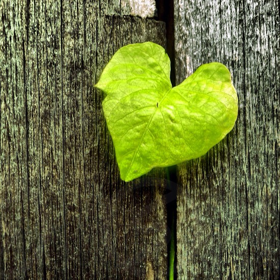 heart shaped green leaf photo