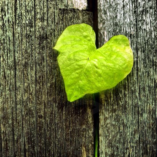 heart shaped green leaf photo