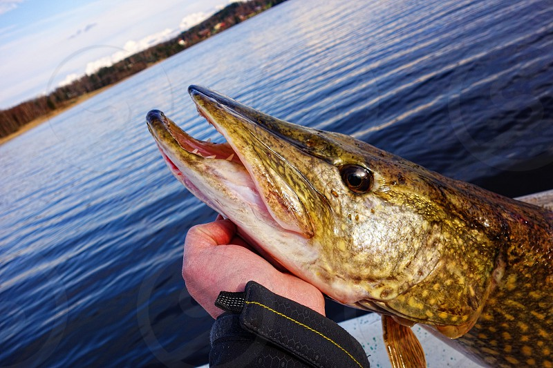 A fisherman holding large size pike in hand before its release back to water on a lake in Finland in May evening. photo