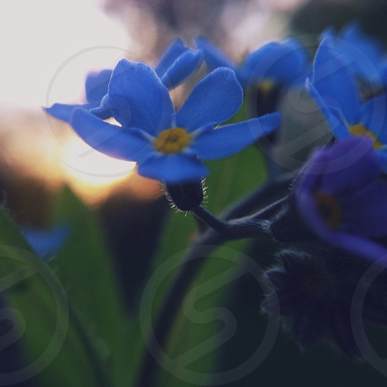 small blue flower photo