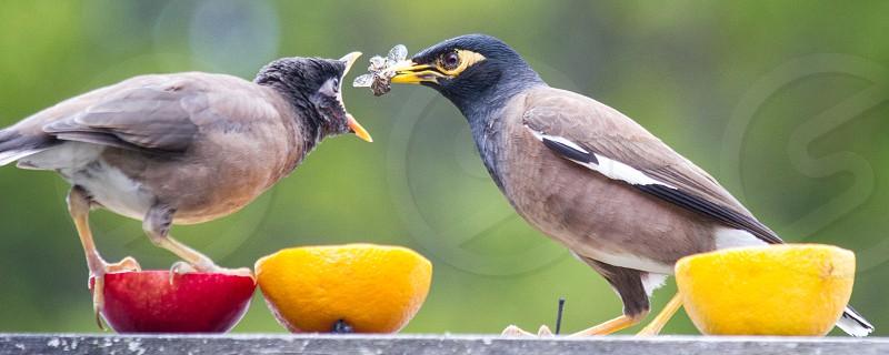 Mynah bird feeding its large baby with a bug photo
