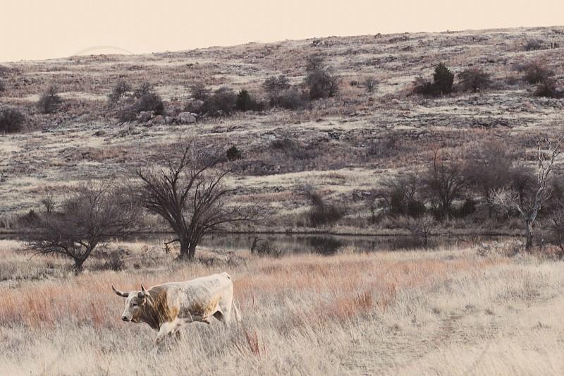 Oklahoma Longhorn Meadow Field Wildlife photo