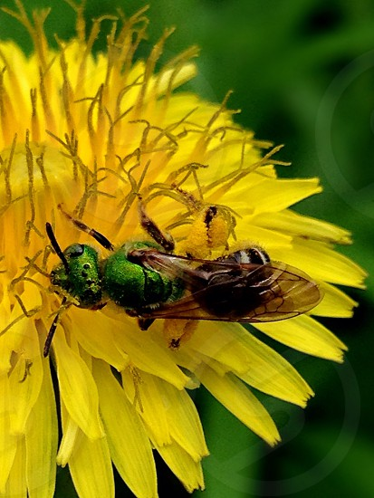 A green bee on a yellow flower.  photo