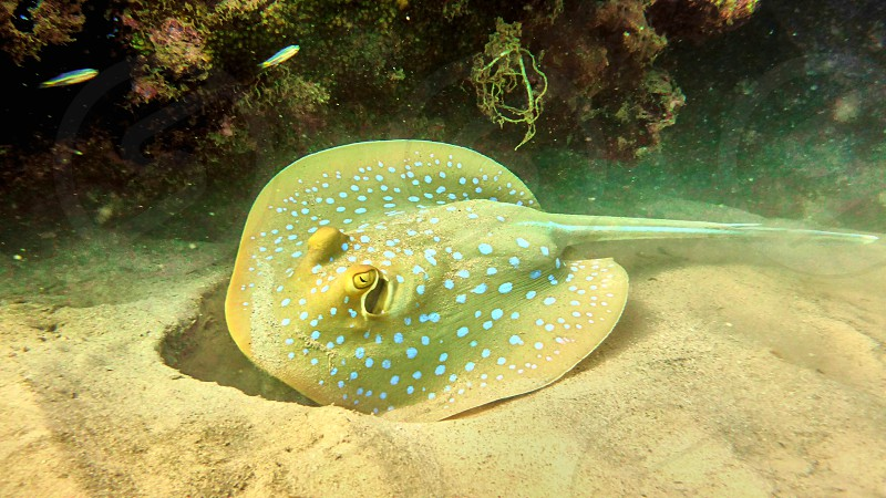 Spotted stingray in Red sea Eilat Israel.                     photo