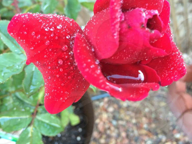 Water droplets on a red rose.  photo