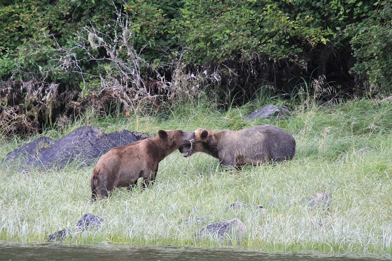 Grizzly Bear Cooperation photo
