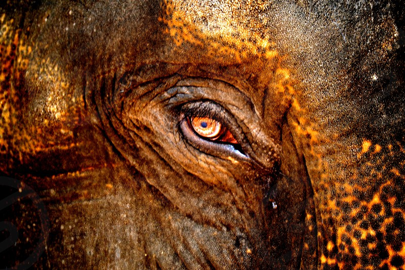 elephant eye photo