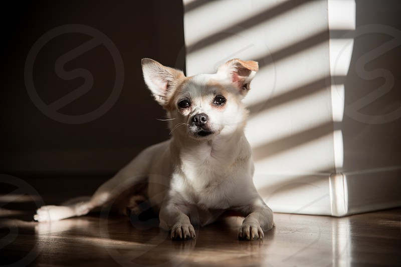 Small chihuaua dog posing on the floor and catching sunlight from window. photo