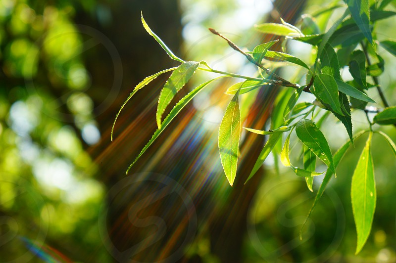 lens flare through summer leaves photo