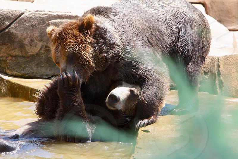 Bears at play! photo