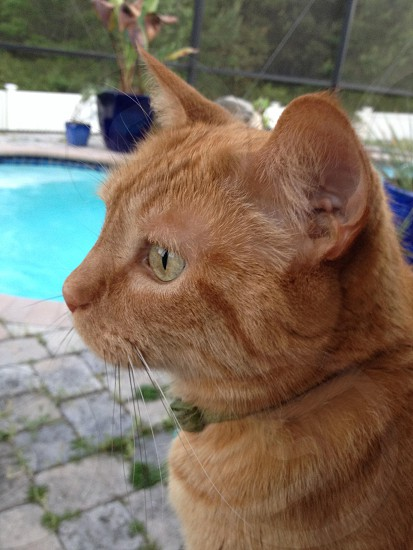 orange tabby cat photo