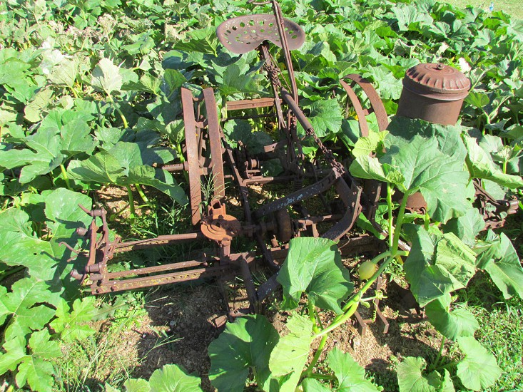 Vintage rusty antique planter plow overgrown by a pumpkin patch photo
