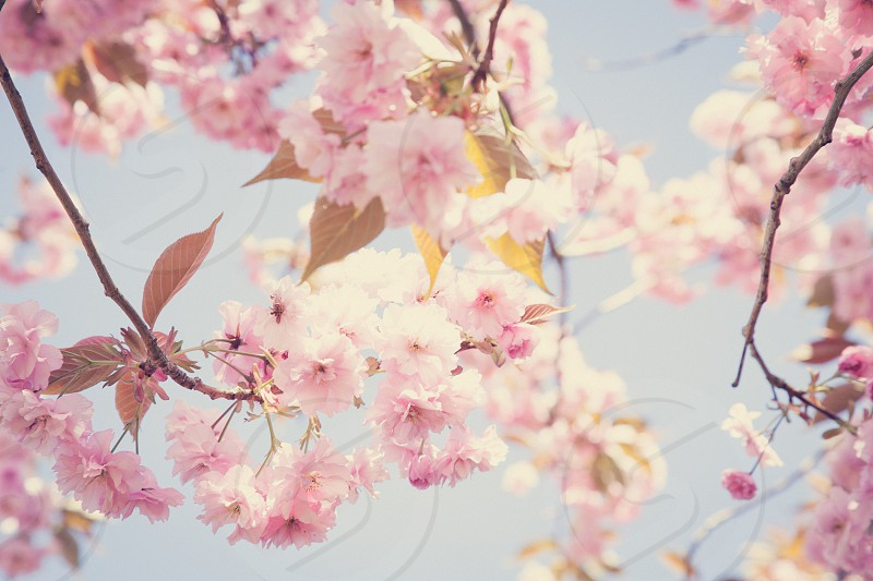 spring spring colours cherry blossoms cherry tree flowers pink blue spring colors photo