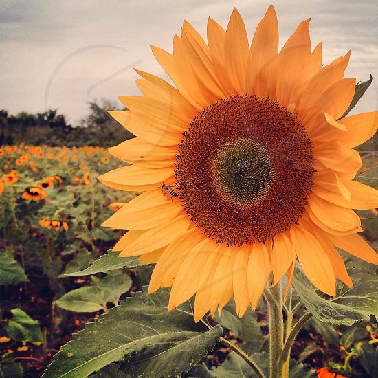yellow and brown sunflower photo
