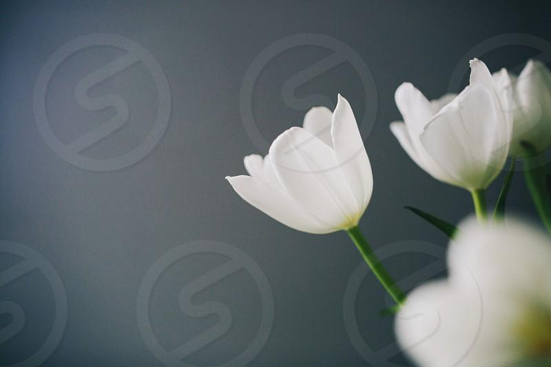 White flowers tulips photo
