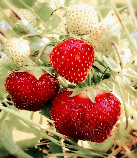 three red strawberries photo