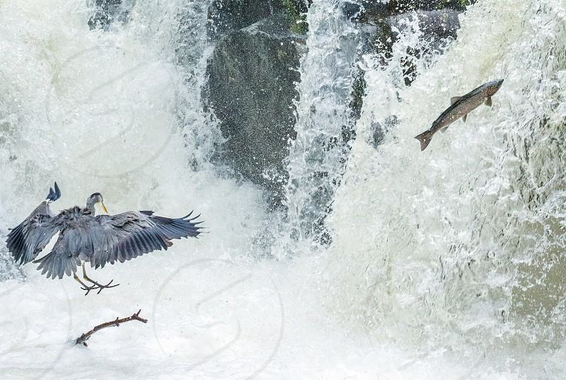 Leaping Migratory Salmon and Landing Grey Heron. photo
