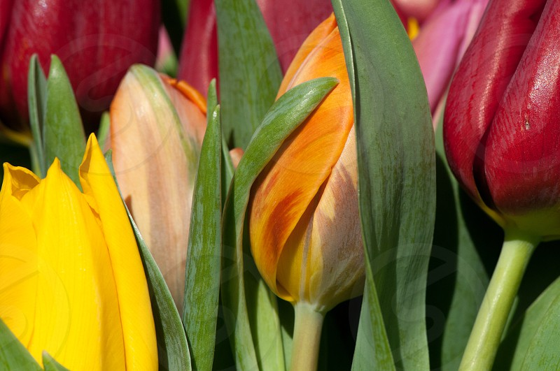 red orange and yellow tulips photo