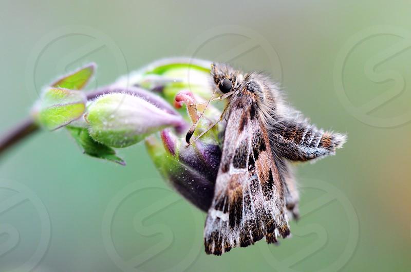 mallow skipper (Carcharodus alceae) butterfly on columbine bud. photo