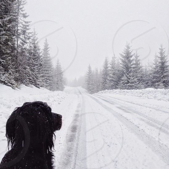 Black dog looking over the snow covered road photo