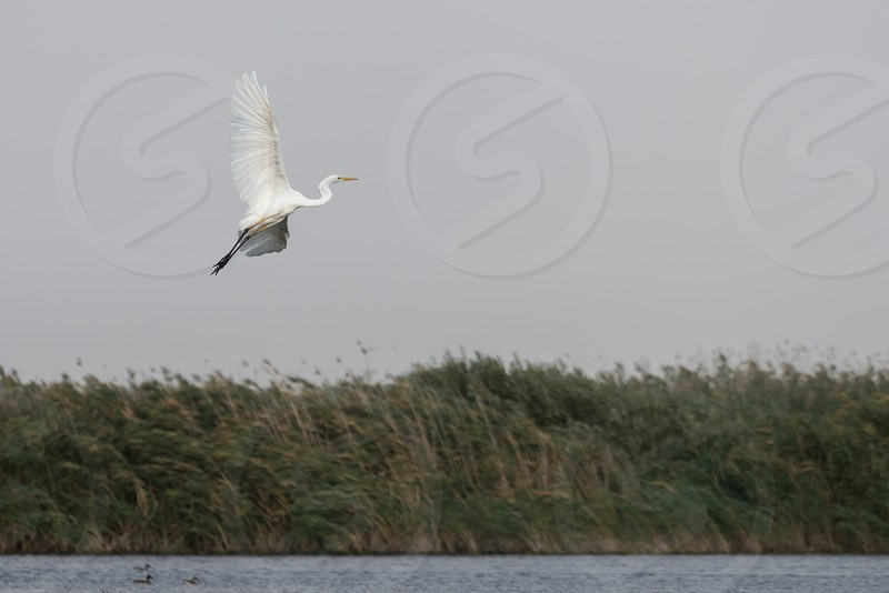 Great White Egret (egretta alba) in the Danube Delta Romania photo