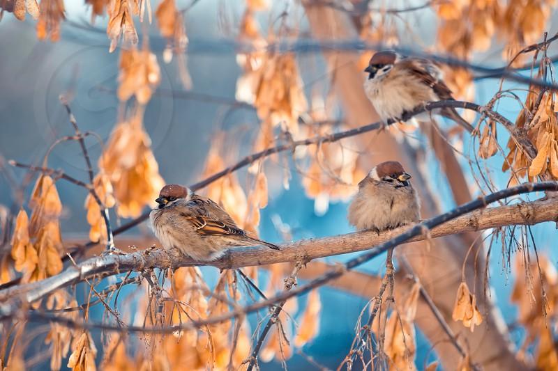 Sparrows branch bird winter cold Siberia photo