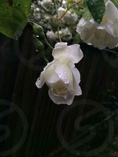 Rose drop. photo