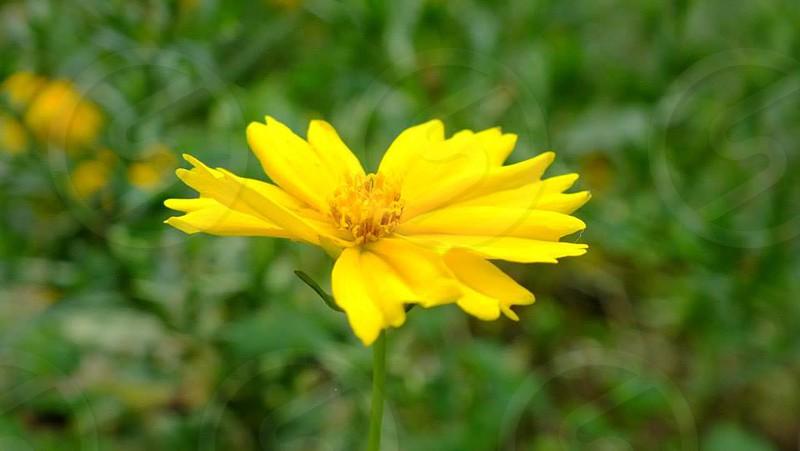 FlowerYellow Flower photo