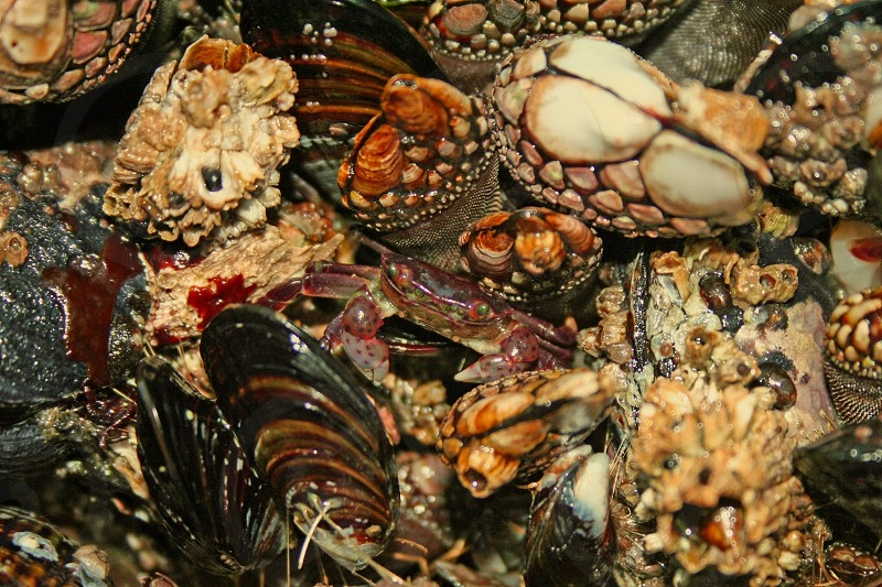 Peek A Boo. A baby dungeness crab peeking out from among all the other tide pool residents. photo