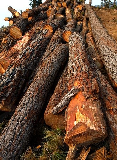 pine tree felled for timber industry in Orotava Tenerife photo