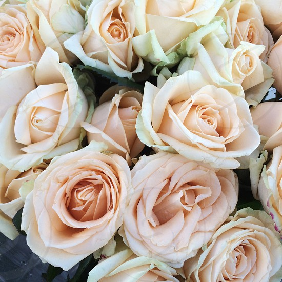 roses flowers  photo