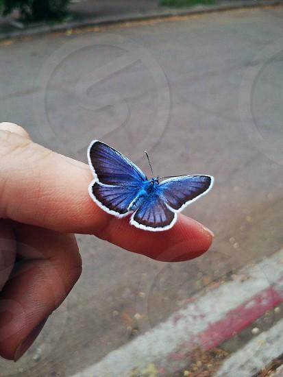 karner blue butterfly photo