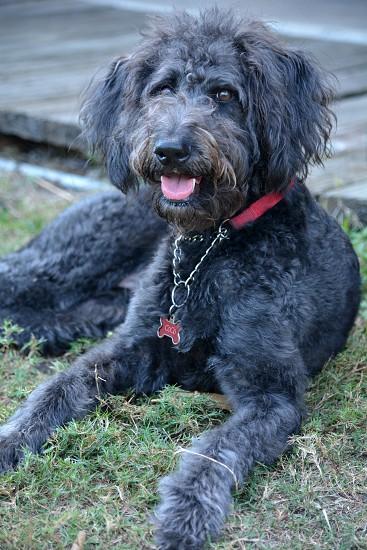 Portrait of a Shepadoodle a hybrid mixed breed of German Sheperd and Standard Poodle. photo