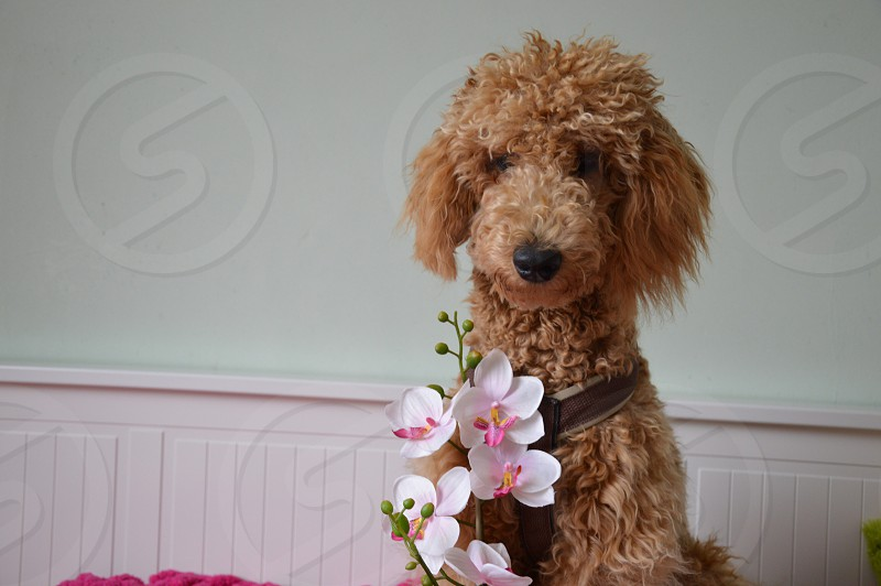 brown soft coated wheaten terrier beside white and pink orchid flower photo