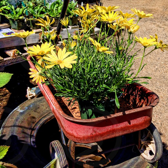 An old red wagon is filled with yellow flowers ready to be planted. photo