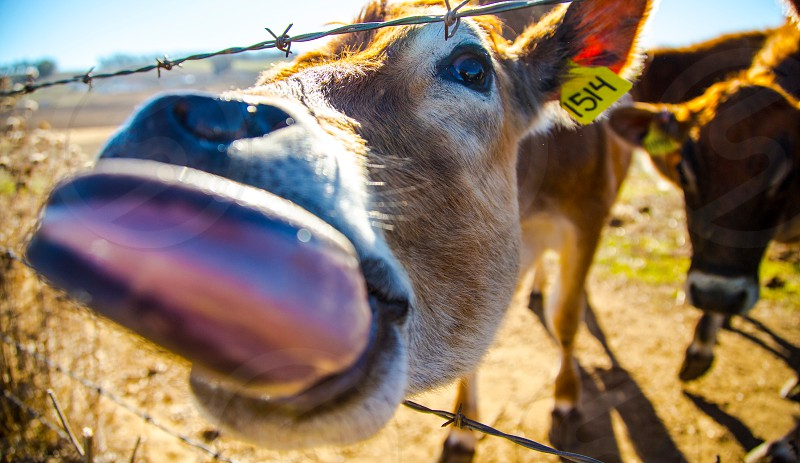 brown cow through barbed wire photo