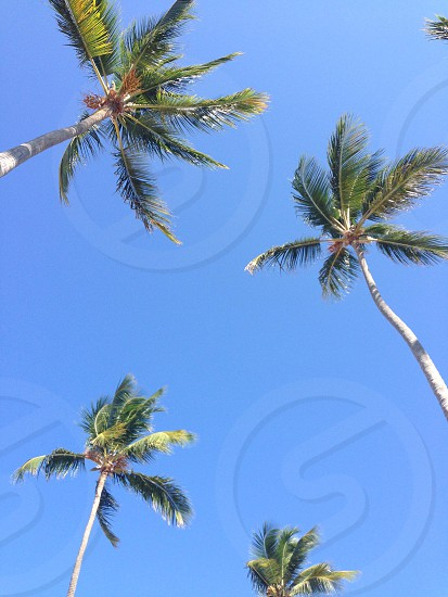 Palm Trees in a clear blue sky palm tree sky summer vacation los angeles california tropical island getaway relaxing peaceful sunny happy love photo