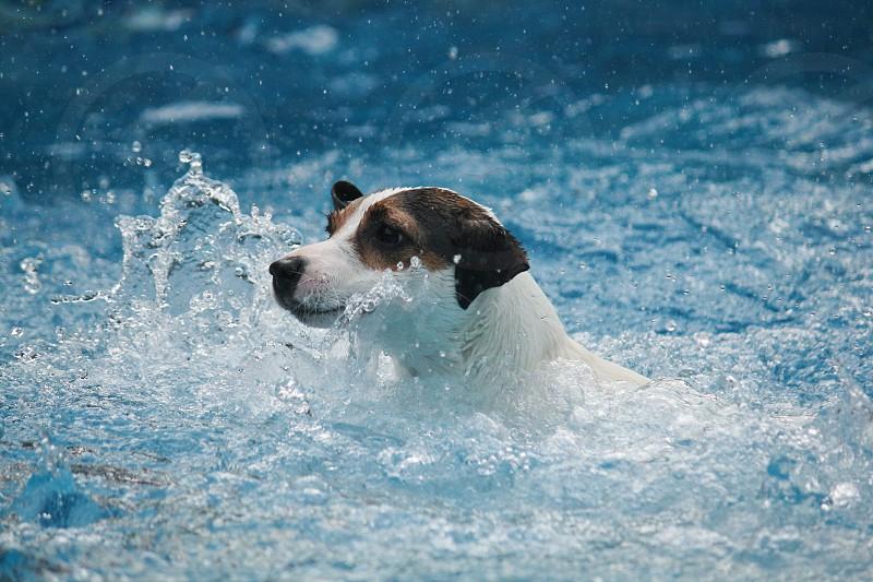 Photo by Veronika Z. Gaudet, - Jack Russell Terrier dog swimming in  swimming pool, water splashing all around her.