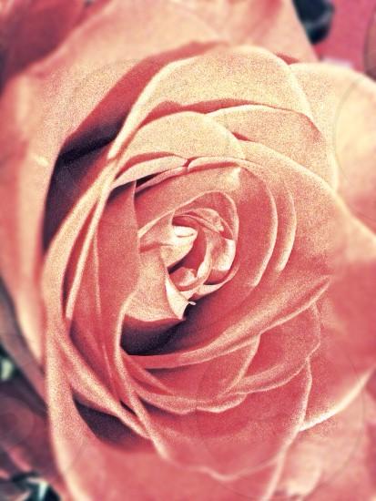 Rose soft flower pink photo
